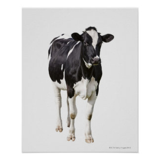 Dairy cow (Bos taurus) on white background Print