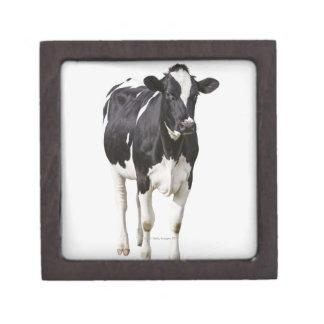 Dairy cow (Bos taurus) on white background Premium Keepsake Boxes