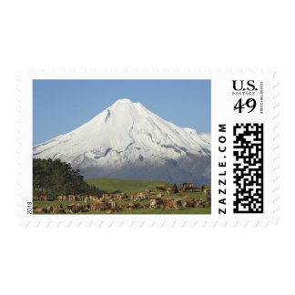 Dairy Cows and Farmland near Okato, and Mt Postage Stamp