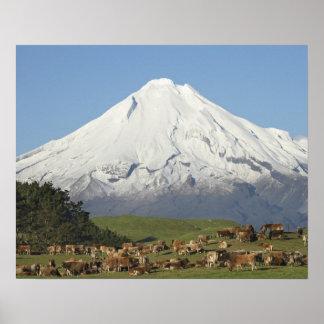 Dairy Cows and Farmland near Okato, and Mt Poster