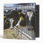 Dairy cows at a feedlot in Grandview, Idaho. Binder