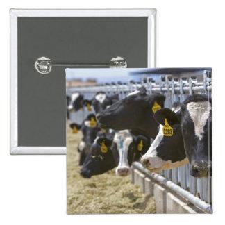 Dairy cows at a feedlot in Grandview Idaho Pins