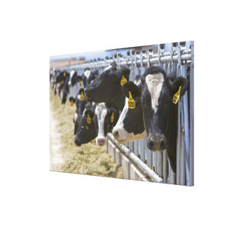 Dairy cows at a feedlot in Grandview Idaho Stretched Canvas Print