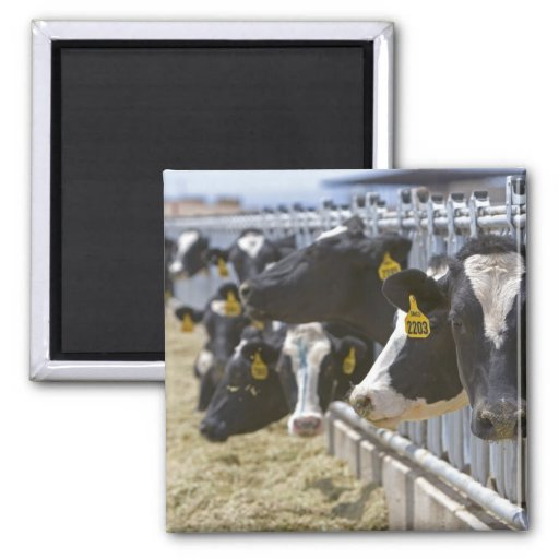 Dairy cows at a feedlot in Grandview, Idaho. 2 Inch Square Magnet