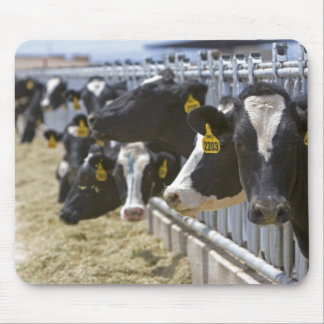 Dairy cows at a feedlot in Grandview, Idaho. Mouse Pad