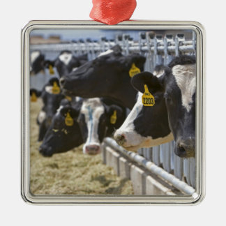 Dairy cows at a feedlot in Grandview Idaho Christmas Ornament