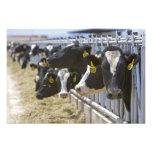 Dairy cows at a feedlot in Grandview, Idaho. Photo Print