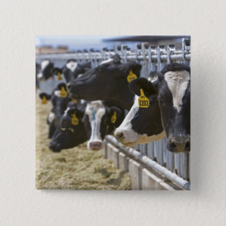 Dairy cows at a feedlot in Grandview, Idaho. Pinback Button