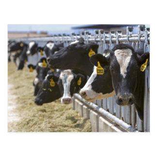 Dairy cows at a feedlot in Grandview Idaho Post Cards