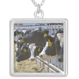 Dairy cows at a feedlot in Grandview, Idaho. Silver Plated Necklace