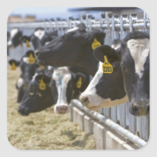 Dairy cows at a feedlot in Grandview Idaho Stickers