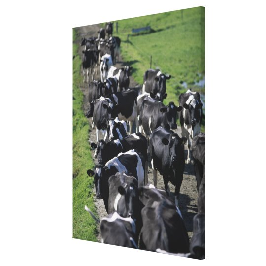 Dairy cows awaiting milking canvas print