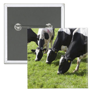 Dairy cows grazing in pasture button