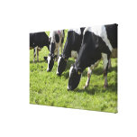 Dairy cows grazing in pasture canvas print