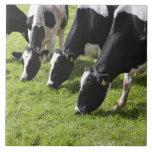Dairy cows grazing in pasture ceramic tiles