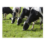 Dairy cows grazing in pasture postcard