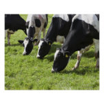Dairy cows grazing in pasture print