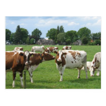 Dairy Cows Looking at You Postcard