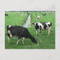 Dairy Cows Postcard
