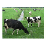 Dairy Cows Postcard