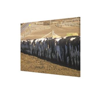 'Dairy farm at feeding time, Point Reyes, CA' Canvas Print