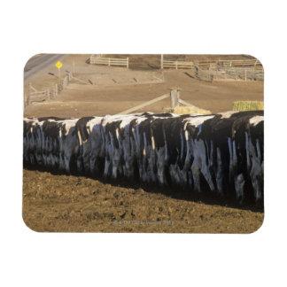 'Dairy farm at feeding time, Point Reyes, CA' Rectangular Magnet