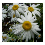 Daisies After The Rain Posters