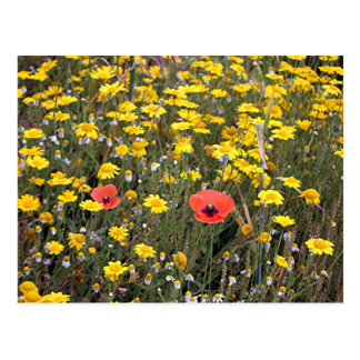 Daisies and poppies on El Camino Postcard