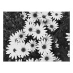 Daisies Black and White Print