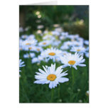 Daisies, Blank Card