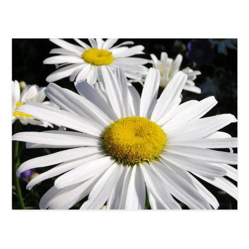 Daisies Floral Postcard
