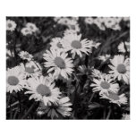 Daisies in Black and White Poster/Print