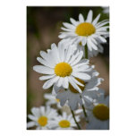 Daisies in Spring Poster