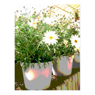 Daisies of greenhouse postcard