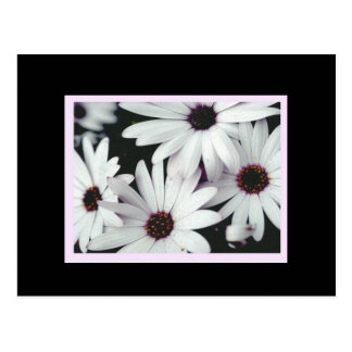 Daisies on Black Background and Pink Accents Postcard