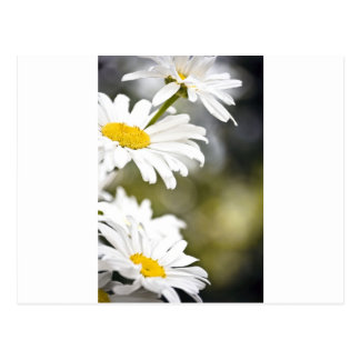 Daisies on the Side Postcard