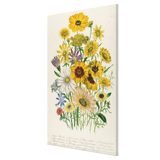 Daisies, plate 31 from 'The Ladies' Canvas Print