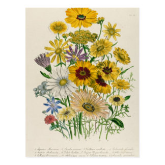 Daisies, plate 31 from 'The Ladies' Postcard