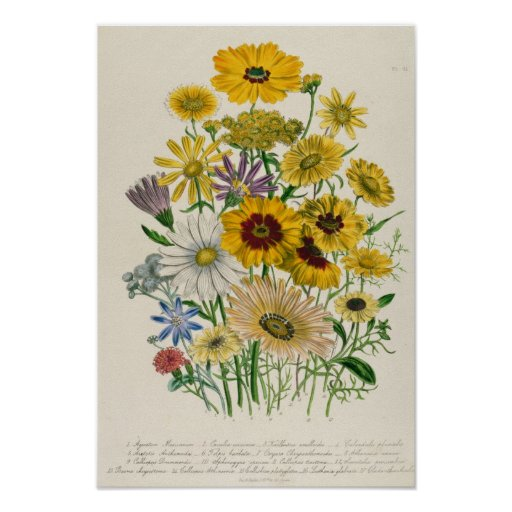 Daisies, plate 31 from 'The Ladies' Poster