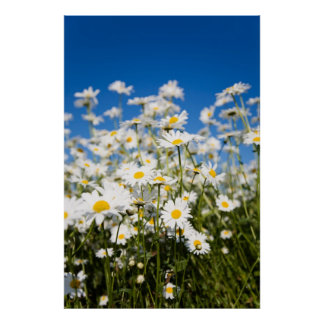 Daisies poster/canvas print