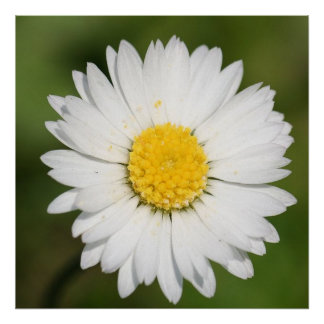 Daisies Wild Poster
