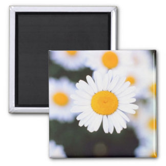 Daisiest Daisy 2 Inch Square Magnet