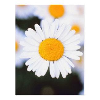Daisiest Daisy Postcard