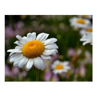 Daisy-54 Post Cards