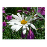 Daisy and Fireweed Postcard