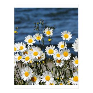 Daisy-Daisy Postcard
