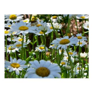 Daisy Field II PostCard