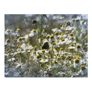 Daisy field post cards