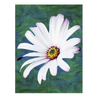 Daisy Flower and meaning Postcard