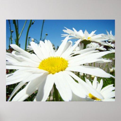 Daisy Flowers art prints White Daisies Blue Sky Poster